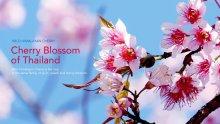 <!--:en-->Wild Himalayan Cherry<!--:--><!--:th-->นางพญาเสือโคร่ง<!--:-->